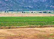 Vineyard on the plain flat land near just east of Mostar. Federation Bosne i Hercegovine. Bosnia Herzegovina, Europe.