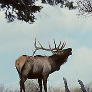 Elk (Cervus canadensis) bull in rut bugling.  Fall in Montana.