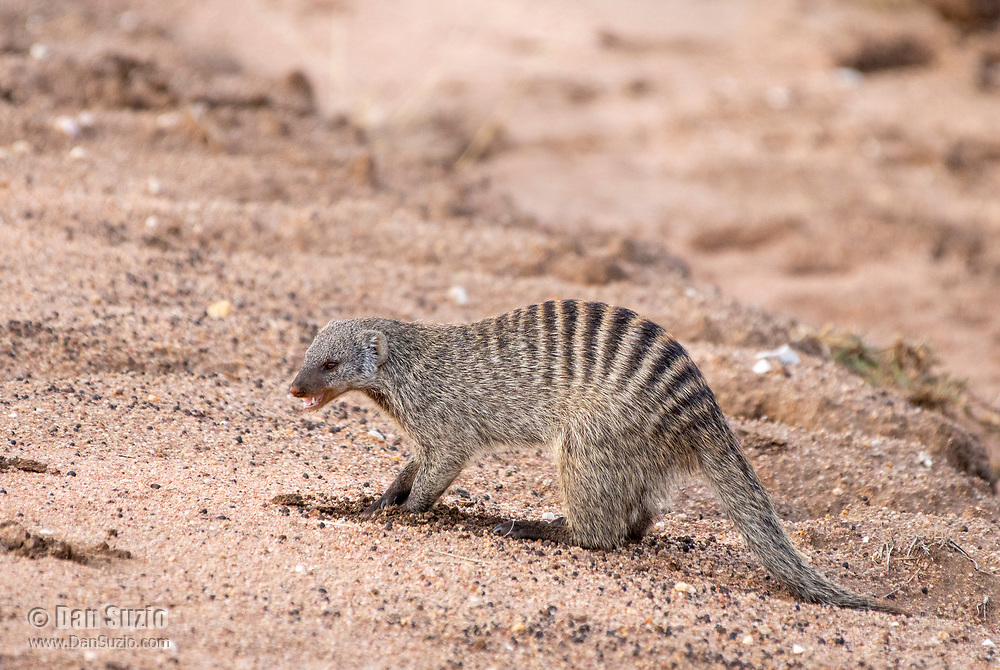 A Banded Mongoose, Mungos mungo, digs in sandy soil beside a dry creekbed in Serengeti National Park, Tanzania.