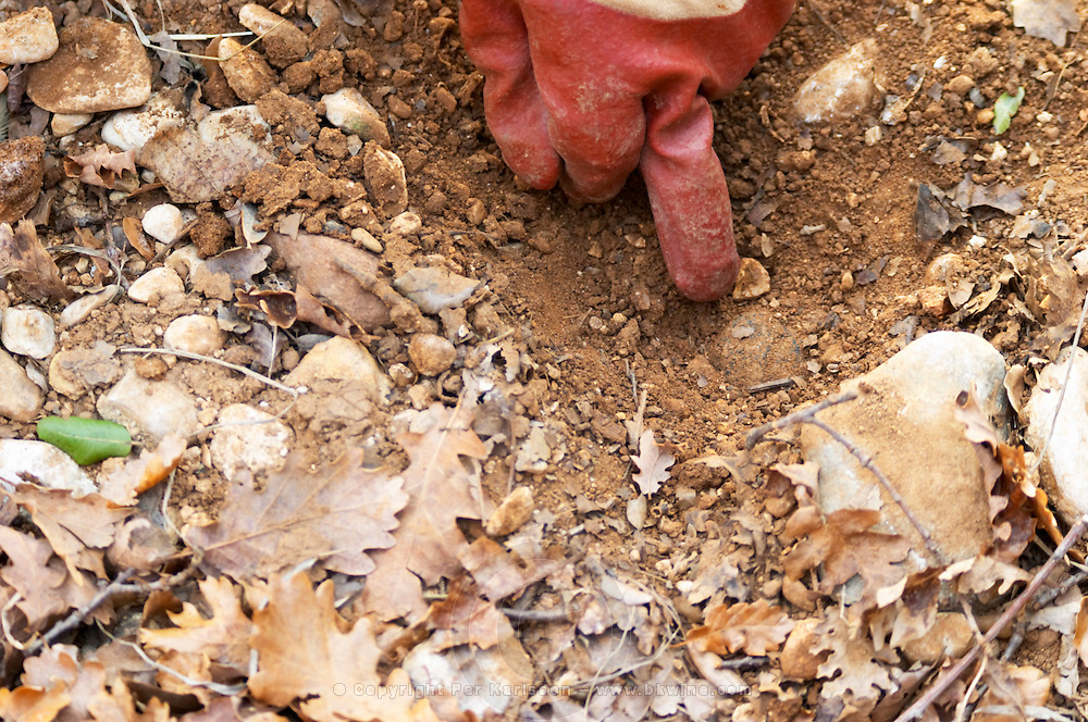 A gloved finger pointing to a truffle in the soil at La Truffe de Ventoux truffle farm, Vaucluse, Rhone, Provence, France