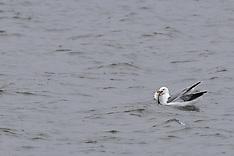 Charadriiformes (Shorebirds)