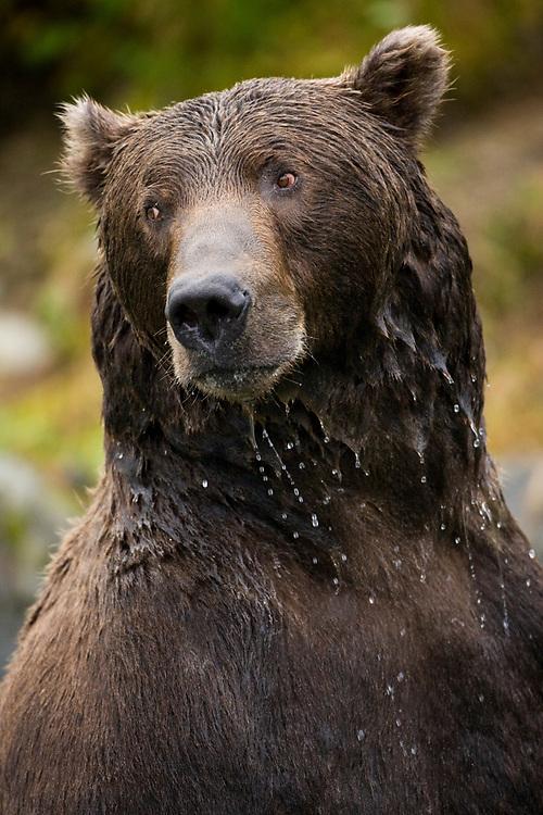 USA, Alaska, Katmai National Park, Kinak Bay, Brown Bear (Ursus arctos) fishing for spawning salmon in river on autumn day