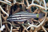 Cheilodipterus quinquelineatus (Five-lined Cardinalfish)