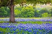 Bluebonnet field underneath an oak tree near Lllano, Texas