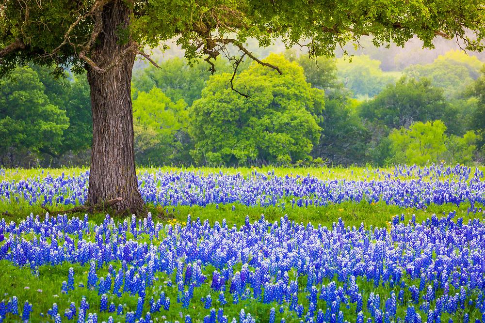Bluebonnet field underneath an oak tree near Lllano, Texas