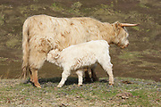 Highland cow, domestic cattle, Bos tarus, calf suckling from mother, Isle of Skye, Skye & Lochalsh, Highland.<br /> feed; feeding; suckle; suckling; cows;<br /> animal; animals; mammal; mammals; cattle;<br /> two; pair; couple; young; grass; grassland;<br /> white; brown; summer