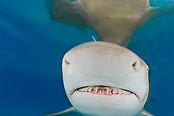 Lemon Shark, Negaprion brevirostris, showing Ampullae of Lorenzini, nostrils, and teeth, West End, Grand Bahama, Bahamas, Caribbean, Atlantic Ocean