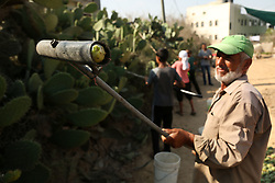 July 18, 2017 - Gaza, gaza strip, Palestine - Palestinian farmers collect Cactus fruit during the harvest season in a vineyard in khan younis in the southern Gaza Strip on July 18, 2017. (Credit Image: © Majdi Fathi/NurPhoto via ZUMA Press)