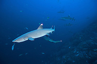 Whitetip Reef Sharks cruise the walls at Roca Partido<br /> <br /> Shot in Mexico