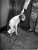 1957 - Blue Cross, (Mr. B. McManus) an injured dog at vets