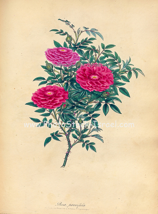 ROSA parvifolia. Small-leaved , or Burgundy Rose. From the book Roses, or, A monograph of the genus Rosa : containing coloured figures of all the known species and beautiful varieties, drawn, engraved, described, and coloured, from living plants. by Andrews, Henry Charles, Published in London : printed by R. Taylor and Co. ; 1805.