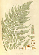 Sphaeropteris barbata Australian Tree Fern, Giant Scaly Tree Fern From Plantae Asiaticae rariores, or, Descriptions and figures of a select number of unpublished East Indian plants Volume 1 by N. Wallich. Nathaniel Wolff Wallich FRS FRSE (28 January 1786 – 28 April 1854) was a surgeon and botanist of Danish origin who worked in India, initially in the Danish settlement near Calcutta and later for the Danish East India Company and the British East India Company. He was involved in the early development of the Calcutta Botanical Garden, describing many new plant species and developing a large herbarium collection which was distributed to collections in Europe. Several of the plants that he collected were named after him. Published in London in 1830