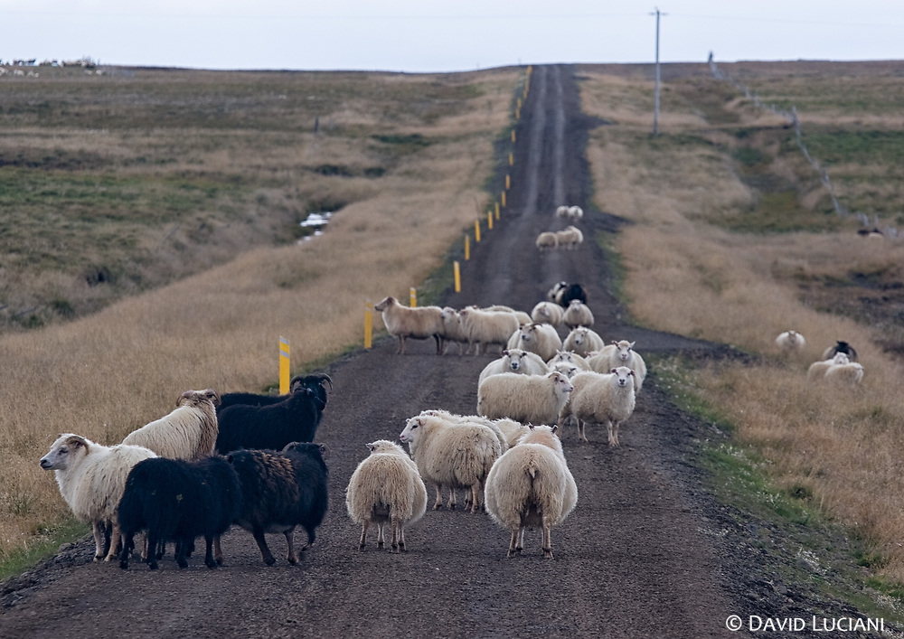 A group of sheep blocking the road as we were trying to drive back from Hindisvík to Hvammstangi.