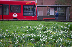©Licensed to London News Pictures 22/01/2020<br /> Foots Cray, UK. Snowdrops blooming early at the side of the road in Foots Cray near Sidcup in Kent. Photo credit: Grant Falvey/LNP