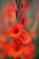 Gladiolus 'Carthago'