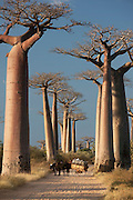 An ox and cart stopped at Avenue of the Baobabs, near Morondava, Madagascar