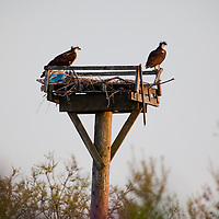 A pair of Osprey sit on top of a nesting box put up at Sandy Hook National Park New Jersey