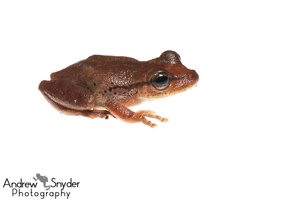 Snouted tree frog, Scinax boesemani, Chenapau, Guyana, March 2014