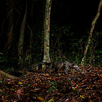 The Asian palm civet (Paradoxurus hermaphroditus) is a small viverrid native to South and Southeast Asia. Photographed here in Kaeng Krachan National Park.