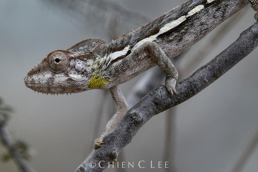 Warty Chameleon (Furcifer verrucosus). Toliara, Madagascar.