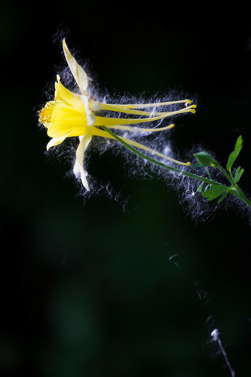 """Yellow columbine (Aquilegia sp.) flower covered in cottonwood """"cotton"""" (seeds and seed hairs) in Boulder, Colorado."""