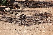 Shadows of a Sahara acacia tree (Acacia raddiana) in the Sahara desert.