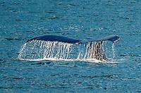 Humpback whale diving, Port Houghton, near Frederick Sound,  Inside Passage, Southeast Alaska USA.