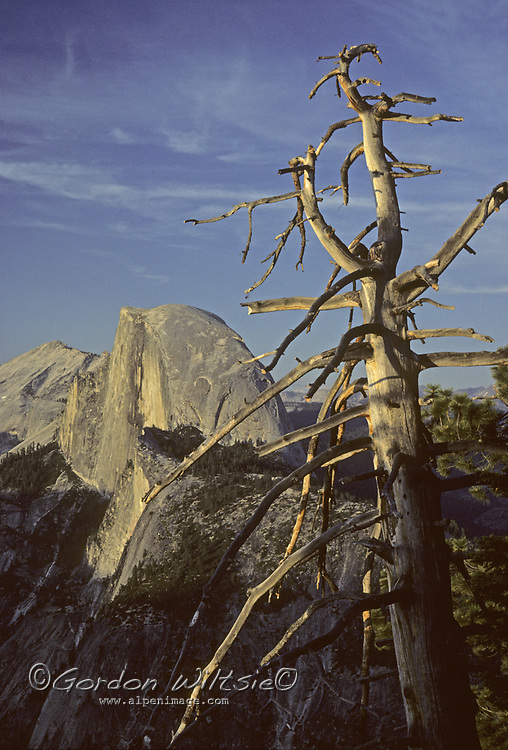 Viewed from Glacier Point, a dead pine snag frames Half Dome and Clouds Rest in California's Yosemite National Park.