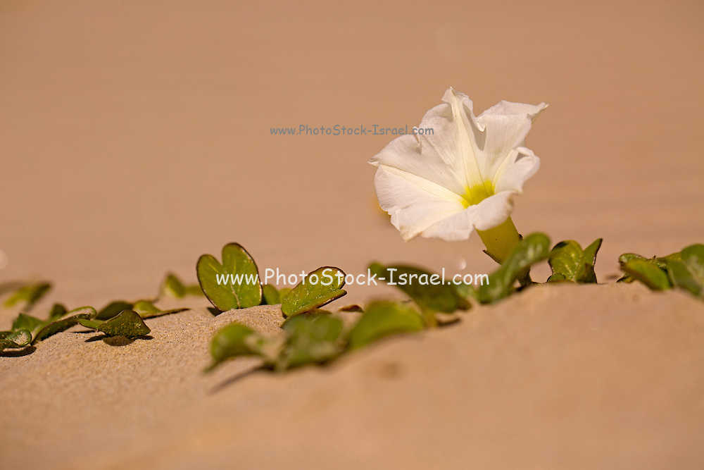 Ipomoea stolonifera Beach morning glory. photographed in Israel in Spring, April
