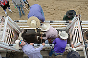 A bull rider gets ready to ride during the CPRA Rodeo at the Boulder County Fairgrounds on Sunday. Go to timescall.com for more photos.<br /> <br /> Matthew Jonas / Staff Photographer Aug. 2, 2015