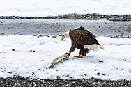 Bald Eagle (Haliaeetus leucocephalus) dragging salmon from the Chilkat River in the Chilkat Bald Eagle Preserve in Southeast Alaska. Winter. Morning.