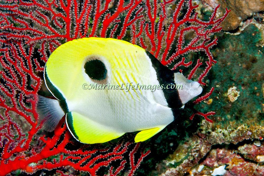Teardrop Butterflyfish inhabit reefs. Picture taken Fiji.