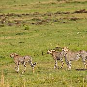 Cheetah (Acinonyx jubatus) brothers strolling the Serengeti Plains hunting. Masai Mara Game Reserve, Kenya, Africa