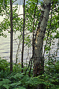 Birch tree and ferns, Chivurkusky Bay, Zabaikalski  National Park, Lake Baikal. Lake Baikal is the oldest (25 million years), deepest (5700 feet) and largest lake in the world by volume(it holds 20% of the earth's liquid fresh water). Threatened by pollution and most recently by an oil pipeline, Baikal has become a rallying point for Russian and international conservationists. Baikal was declared a World Heritage Site in 1996. Boyd Norton, the photographer here, worked with Russian and U.S. environmentalists to get Baikal designated a World Heritage Site.