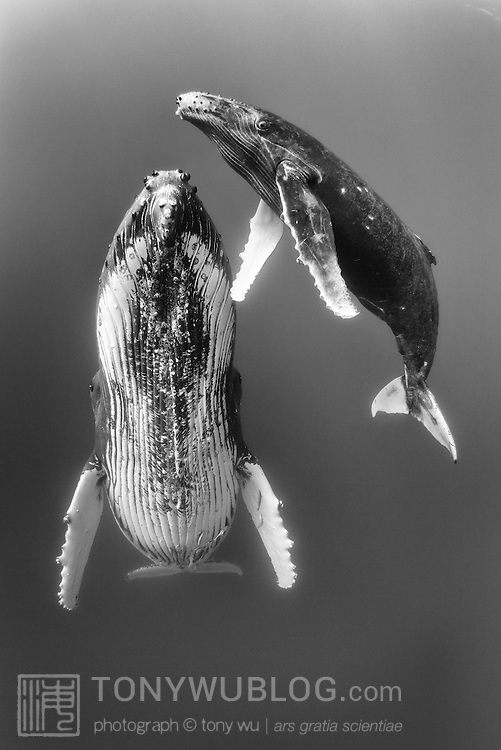 Humpback whale female at rest with male calf (Megaptera novaeangliae)