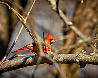Wary male Northern Cardinal in the morning sun. Image taken with a Nikon D2xs camera and 80-400 mm VR lens (ISO 200, 400 mm, f/5.6, 1/500 sec).