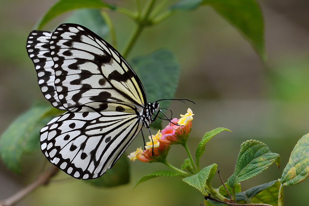 Rice paper butterfly, or Large tree nymph, or Paper kite, Idea leuconoe, Sheding Forest park, Kenting National Park, Taiwan