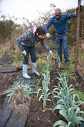 Man and girl digging leeks on an allotment.