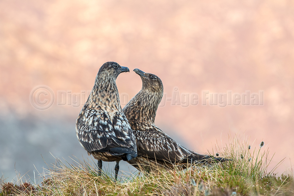 Great Skua courting with eachother | Storjoer som kurtiserer