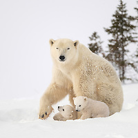 Two cubs-of-the-year playing while staying close to their mother in Wapusk N.P. near Churchill, Manitoba, Canada