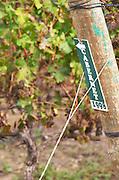 Vineyard. Cabernet Sauvignon vines. Bacalhoa Vinhos, Azeitao, Portugal