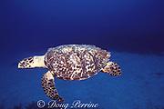 hawksbill turtle, Eretmochelys imbricata, Grand Cayman, Cayman Islands ( Caribbean Sea )