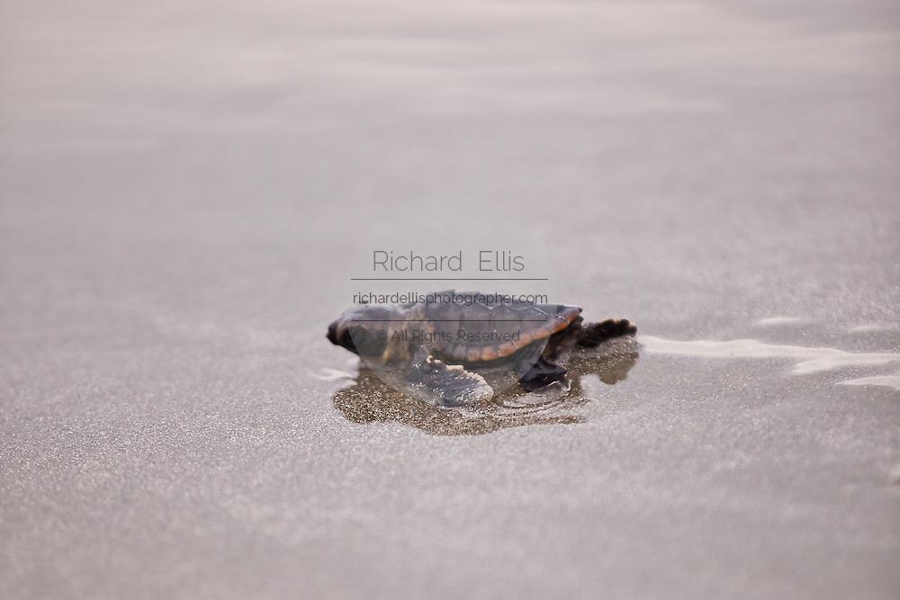 Loggerhead turtle hatchling crawls to the Atlantic ocean on the Isle of Palms,  SC.