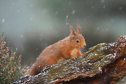 Red squirrel, Sciurus vulgaris, winter coat, on pinewood stump in snow shower, Strathspey, Highland.