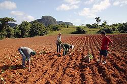 Supervisor watching men planting tobacco seedlings on farm near Vinales; Cuba,