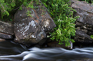 Cascara and other shrubs along the rocky edge of the Millstone River at Bown Park in Nanaimo, British Columbia, Canada