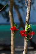 Flowers decorate tree, Mclaren Harbour, Tufi, Cape Nelson, Oro Province, Papua New Guinea