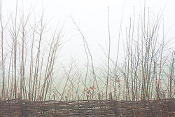 Woven hazel fence with mixed native hedge on a foggy morning at Glebe Cottage