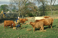 man feeding highland cattle with bales of hay