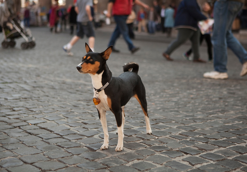 Dog at Piazza della Rotonda, also known as the Pantheon Square, in Rome, in Italy.